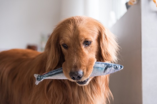 a golden retriever holding a toy fish in it's mouth - a blog about is fish good for dogs.