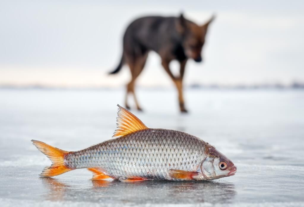 Feature image for Can Dogs Eat Fish? Why Omega-3 Is Great for Dogs