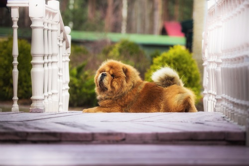 a red chow chow dog