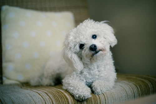a white maltese dog
